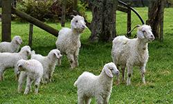 Goats - Fibre