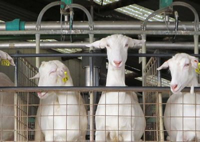 Dairy Goats milking