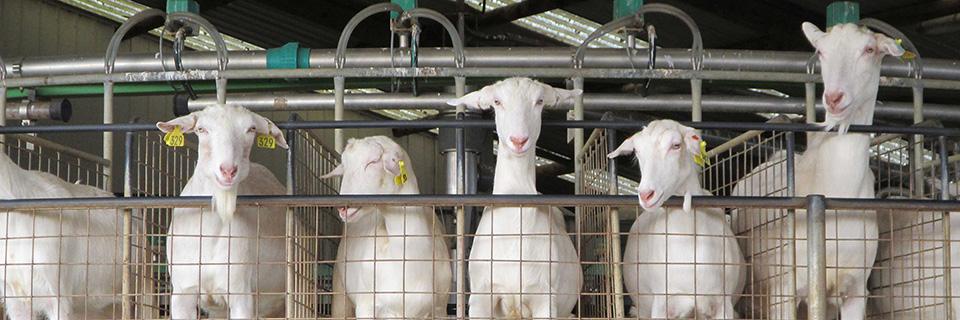 Dairy Goats | Land Use New Zealand