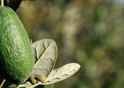 Feijoa on branch