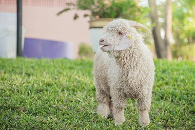 Goat_fibre