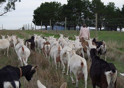 Goats walking