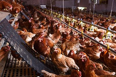 Hens in barn