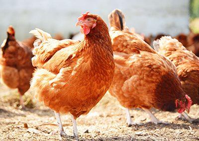 Free range hens