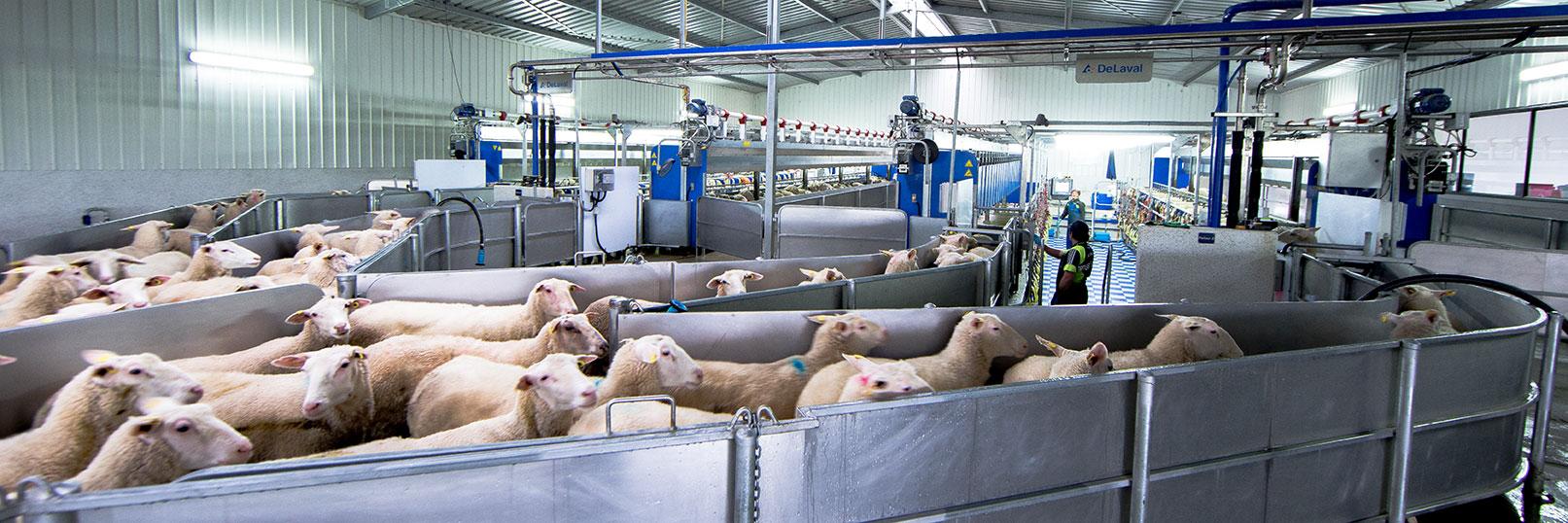 Dairy Sheep   Land Use New Zealand
